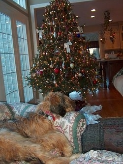 Alfie Marie Noble the Briard sleeping on a couch with a christmas tree in the background