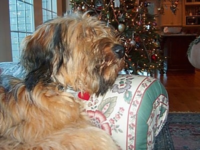 Alfie Marie Noble the Briard laying its head on the arm of a couch in front of a Christmas tree