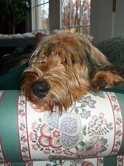 Close Up head shot - Alfie Marie Noble the Briard laying its head on the arm of a couch