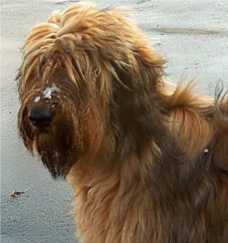 Close Up - Alfie Marie Noble the Briard at the beach with sand on his face