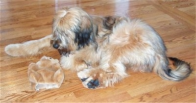 Alfie Marie Noble the Briard laying on the hardwood floor with its plush bear toy and looking at it