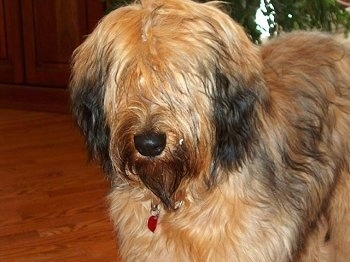 Close Up - Alfie Marie Noble the Briard standing on a hardwood floor