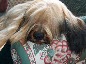 Close Up - Alfie Marie Noble the Briard sleeping on the arm of a couch