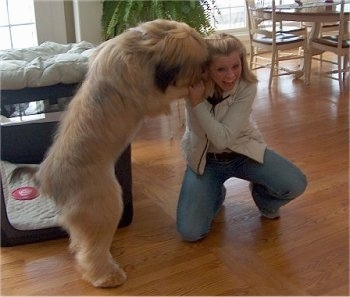 Alfie Marie Noble the Briard jumping up on his owner who is kneeling down and licking her ear