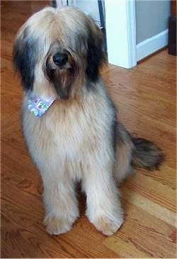 Alfie Marie Noble the Briard Puppy sitting on a hardwood floor wearing a bandana