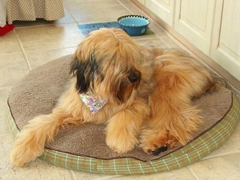Alfie Marie Noble the Briard laying on a dog bed wearing a bandana with a ceramic blue and green dog dish behind him