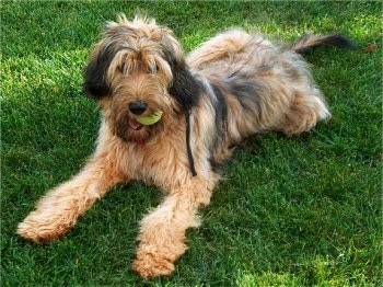 Alfie Marie Noble the Briard sitting outside in grass with a tennis ball in his mouth