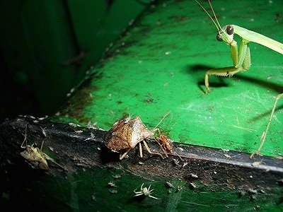 Preying Mantis and Stink Bugs on a old metal surface