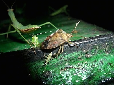 back of a Preying Mantis, a Katydid and a Stink Bug on a metal surface