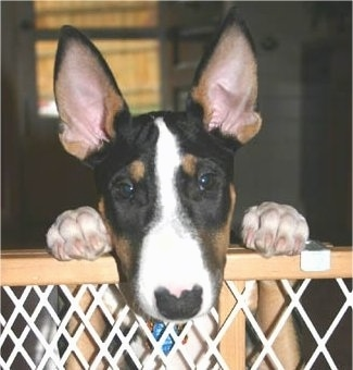 Close Up - Ziggy the Bull Terrier jumped up at a baby gate and peering over the top