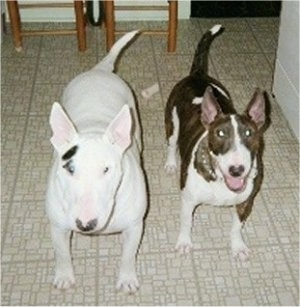 Murphy and Meggie, two happy Bull Terriers