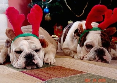 Rocky and Daisy the English Bulldogs laying down on a rug and wearing raindeer antlers with a Christmas tree in the background
