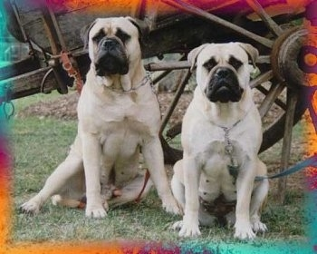 Aust Ch Powerbulmas Zues and Aust Ch Opalguard Blondie the Bullmastiffs sitting in front of a horse style wooden wagon