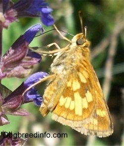 Skipper Butterfly sucking the pollen out of a flower
