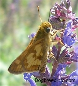 Skipper Butterfly on purple and pink flowers