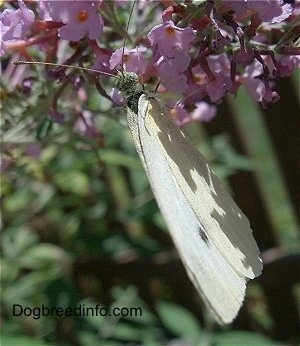 European Cabbage Butterfly on a pink flower