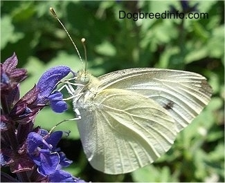 European Cabbage Butterfly on a purple flower