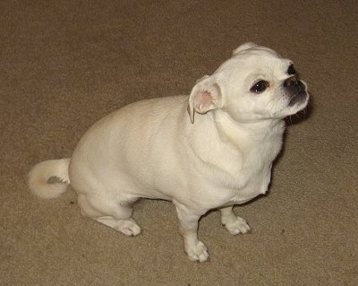 LuLu the Chihuahua, Pug mix (Chug) at about 3 years old