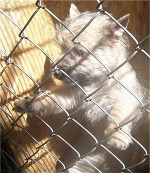Cairn Terrier puppy standing against a chain link fence and looking through the fence holes