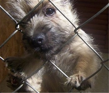 Close Up - Cairn Terrier Puppy has its nose through one of the chain link fence holes