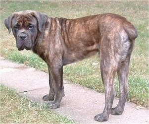 Cain the Cane Corso Italiano is standing outside on a sidewalk and looking back