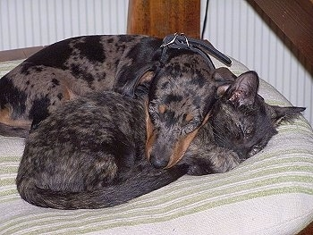 Lil Chopper the merle mini Dachshund snuggling with Buttercup the black and brown brindle kitten on a dog bed