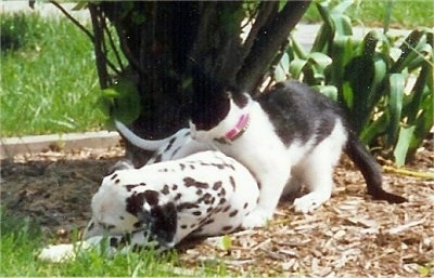 Molly the Dalmatian puppy is laying in front of a bush and Sherlock the black and white kitten has its paws around the dog's back