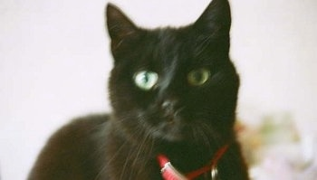 Close Up - A black cat wearing a red collar looking forward