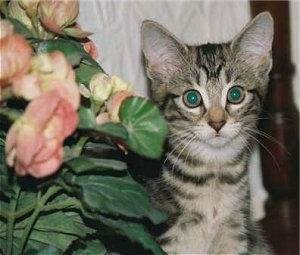 Close Up - A Gray Tiger Kitten is sitting next to a flowered plant