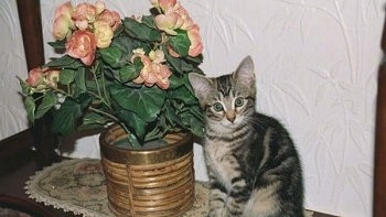 A Gray Tiger Kitten is sitting on a table next to a flowered plant