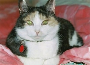 Close Up - A calico cat laying on a red blanket and looking at the camera