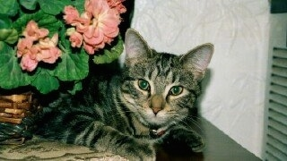 A Gray Tiger Cat laying on a table with a flower behind it
