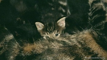 Close up - A kitten that is nursing from its mother.