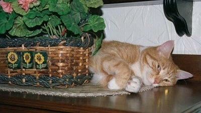 An orange cat is laying behind a plant in a wicker basket on a table