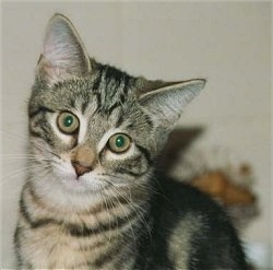 Close Up - A gray tiger kitten is looking at the camera with its head tilted to the right