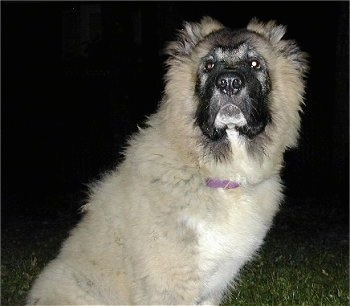 Anchara the Caucasian Shepherd as a puppy is sitting outside and looking towards the camera