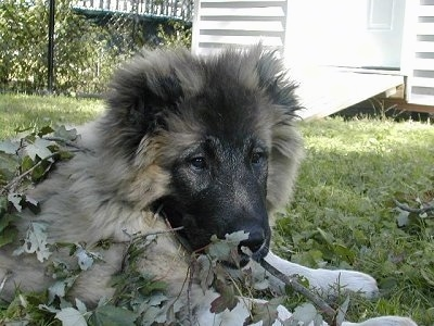 Anchara the Caucasian Shepherd as a puppy is laying outside in grass. In the background there is a shed and a chain llink fence