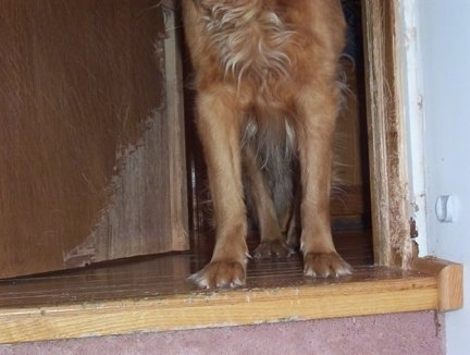 Lucky the Golden Retriever front paws and scratches all over the door frame and door