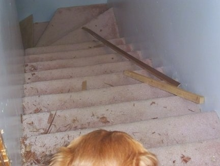 Lucky the Golden Retriever is looking up the carpeted stairway at scattered wood from the door above