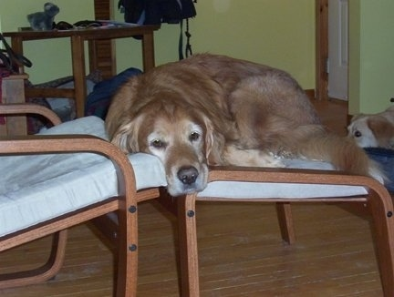 Lucky the Golden Retriever is laying on a wooden ottoman looking sleepy