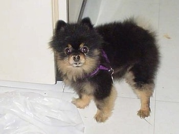 Close Up - Mojo the Pomeranian Puppy is standing on a tiled floor with trash can waste on his nose