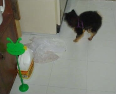 Mojo the Pomeranian Puppy is standing in front of a refridgerator on a tiled floor with a trash beg in front of him
