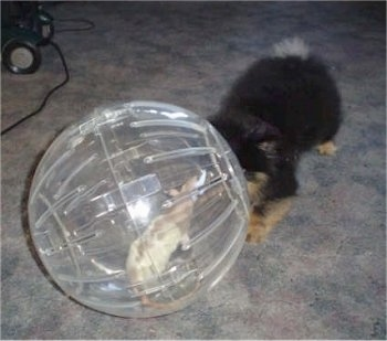 Mojo the Pomeranian puppy is play bowing at Lily the rat who is in a ball
