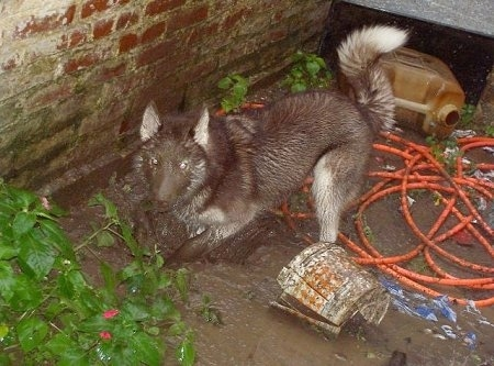 Raisa the Siberian Husky is digging in a very muddy dirt hole next to a house with an orange hose, a broken bucket and 3 gallon jug behind him. He is covered in mud from head to tow looking like a brown dog.