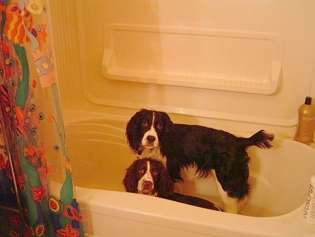 Sophie and Oreo the Springer Spaniels are laying and standing in a tub and looking at the camera holder