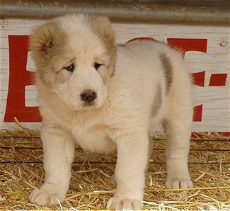 Mountain Top Zero the white and tan Central Asian Ovtcharka puppy is standing in front of a wooden sign outside on hay.