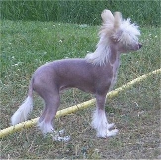 Left Profile - Pixie the Chinese Crested hairless as a puppy standing outside in grass next to a yellow hose