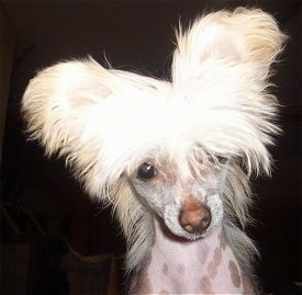 Close Up head shot - Pixie the Chinese Crested hairless dog as a puppy