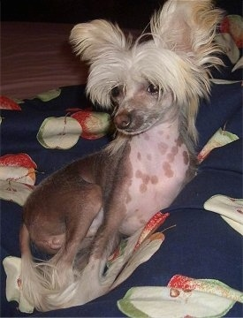 Pixie the Chinese Crested as a puppy laying on a blue blanket with apples all over it