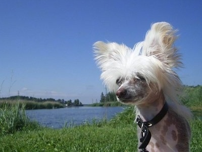 Pixie the Chinese Crested hairless as a puppy standing in front of a large body of water and looking slightly to the left